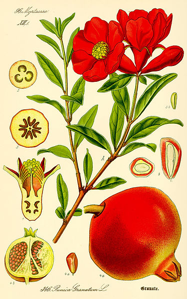 375px-Illustration_Punica_granatum2