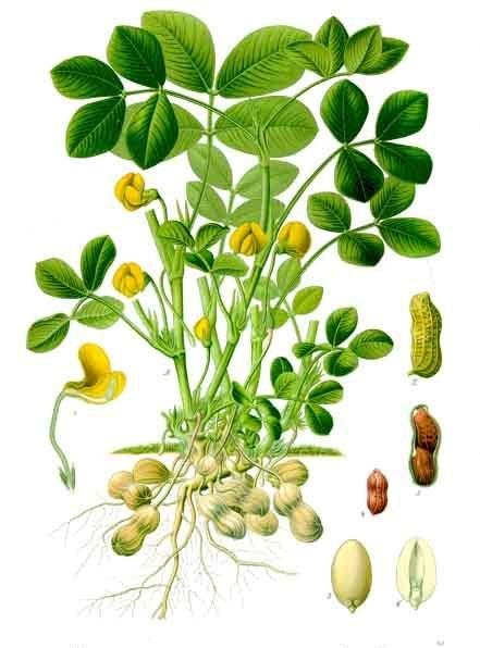 Arachis_hypogaea_-_Köhler–s_Medizinal-Pflanzen-163