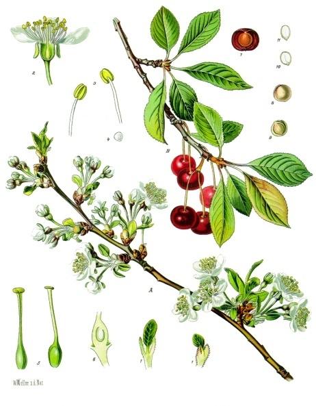 Prunus_cerasus_-_Köhler–s_Medizinal-Pflanzen-113